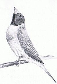 hvid due med sort hoved