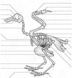 sygdom med tynde ben og stort hoved