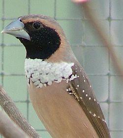 krydsning af fugle
